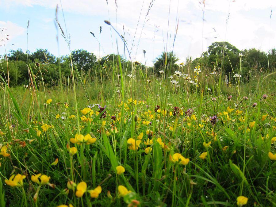 Shackledell Grassland